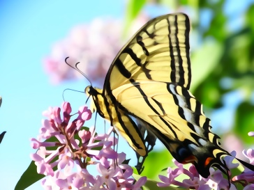 Water-colored Monarch