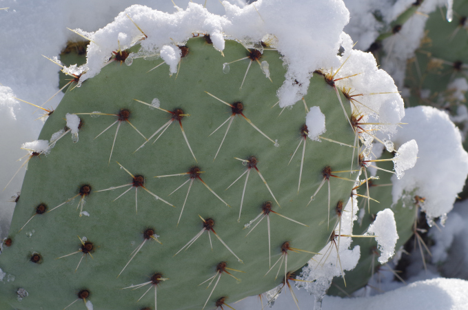 Snow Clinging to a Prickly Pear Cactus