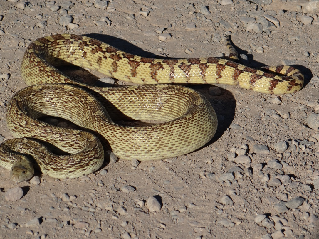 Gopher Snake looking like a Rattler